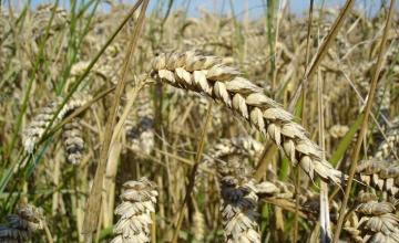 Производство на пшеница в Кошарево-Брезник