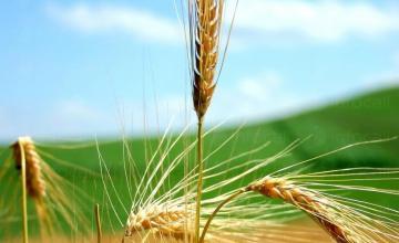 Производство на пшеница в област Бургас - ЗКПУ Единство село Тръстиково