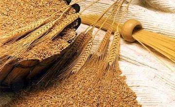 Производство на пшеница в община Силистра