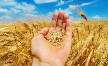 Производство на пшеница в община Свищов - ППК Възраждане Морава