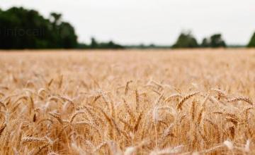 Производство на пшеница в село Малина-Генерал Тошево
