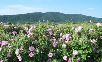 Производство на рози в Баня-Карлово - Кооперация Надежда