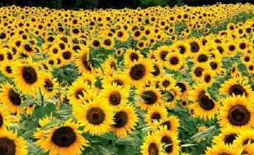 Производство на слънчоглед в Баня-Карлово - Кооперация Надежда