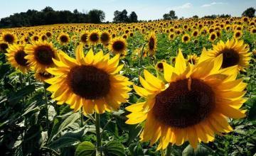 Производство на слънчоглед в област Разград