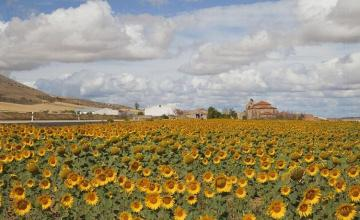 Производство на слънчоглед в село Малина-Генерал Тошево