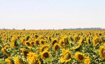Производство на слънчоглед в Знаменосец-Раднево