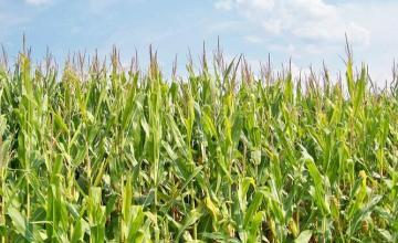 Производство на царевица в Каварна