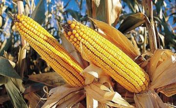 Производство на царевица в село Малина-Генерал Тошево
