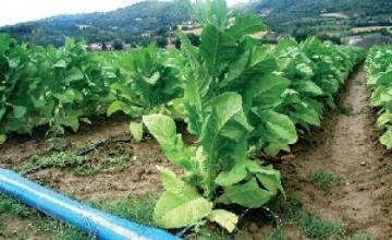 Производство на тютюн Първомай - Селскостопанска продукция Първомай