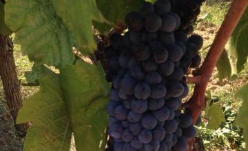 Производство на вина в Долно Спанчево-Благоевград - Мелник 2004 ЕООД