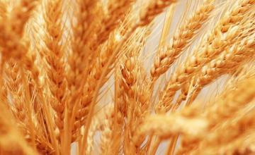 Производство на зърно в община Димитровград
