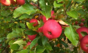 Производство, търговия и отглеждане на ябълки в Страцин-Поморие - ЗП Христо Гочев