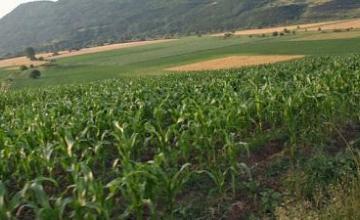 Производство царевица и ечемик в община Силистра