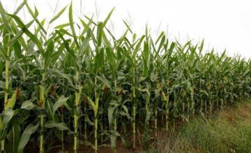 Производство царевица в Нова Върбовка-Стражица