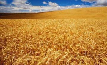 Производство зърнени култури в Търговище - Агровариант ЕООД