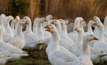 Развъждане на патици в област Пловдив - Отглеждане и угояване на патици в Пловдив