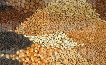 Семепроизводство във Вардим - Свищов - Сортови Семена Вардим  ЕАД