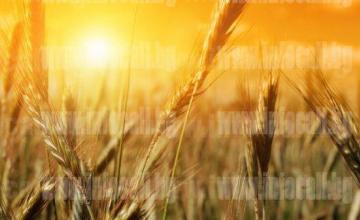Търговия със селскостопанска продукция във Вардим - Свищов - Сортови Семена Вардим  ЕАД