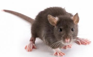 Унищожаване на мишки във Варна и Шумен