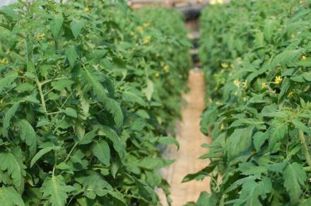 Хидрофонен метод за отглеждане на зеленчуци в Кресна - Алт Ко АД