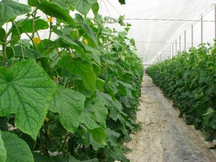 Оранжерийно производство на краставици в Кресна - Алт Ко АД