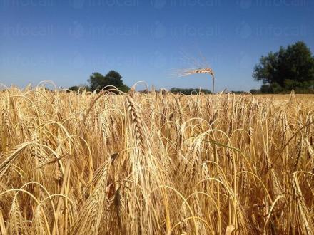 Отглеждане на ечемик - Селскостопанска продукция Левски