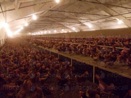 Отглеждане на кокошки-носачки в област Търговище - Яйца и Птици Ломци