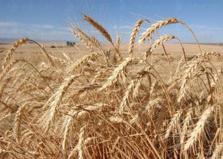 Отглеждане на пшеница в Кнежа-Плевен - Светлин Илчовски  ЕТ