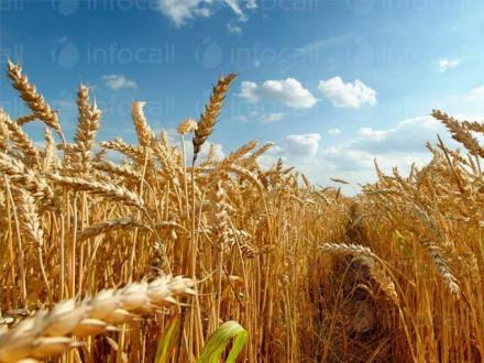 Отглеждане на пшеница в Лепица-Червен бряг - ПЗК Кленовит