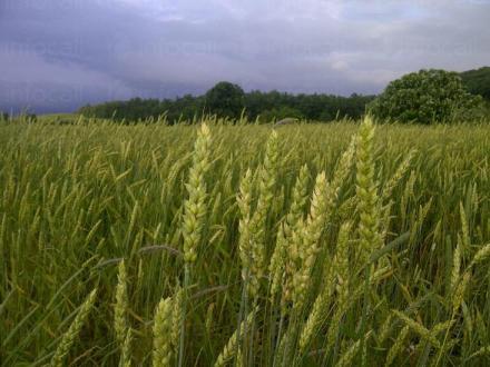 Отглеждане на пшеница в Липен-Монтана - Мото Макс - Аврам Василев