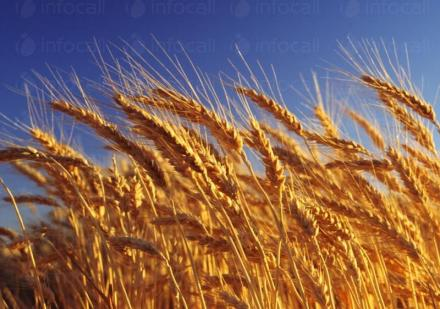 Отглеждане на пшеница Знаменосец-Раднево - ЗК Детелина 2007