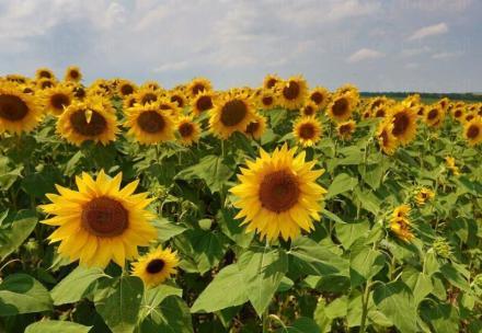Отглеждане на слънчоглед и ечемик в Септември-Пазарджик - Прогрес