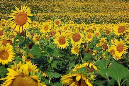 Отглеждане на слънчоглед в Кнежа-Плевен - Светлин Илчовски  ЕТ