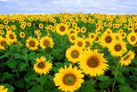 Отглеждане на слънчоглед в Лепица-Червен бряг - ПЗК Кленовит
