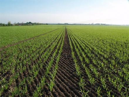 Отглеждане на царевица - Селскостопанска продукция Левски