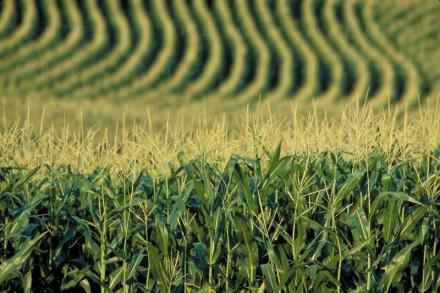 Отглеждане на царевица в Горно Абланово-Опака - Кооперация Черноломие