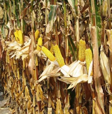 Отглеждане на царевица в Кнежа-Плевен - Светлин Илчовски  ЕТ