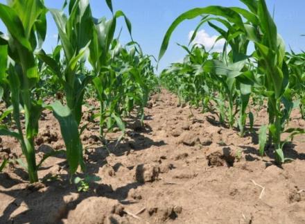 Отглеждане пшеница и царевица в Сливо поле - ППК Надежда Ряхово