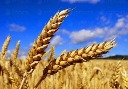 Отглеждане пшеница в Добрич - Агроевроплант ЕООД