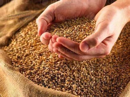 Отглеждане зърнени култури в община Добрич - ЗК Бдинци