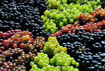 Продажба на грозде в Свищов - Агроплод Димитрови ООД