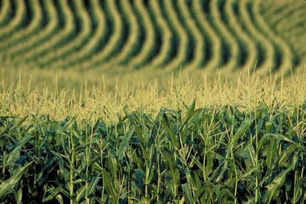 Производство и търговия с царевица в община Балчик - Кооперация Гурково