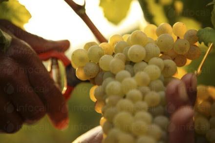 Производство на грозде в София и Хисар - ТРИАДА 96 АД