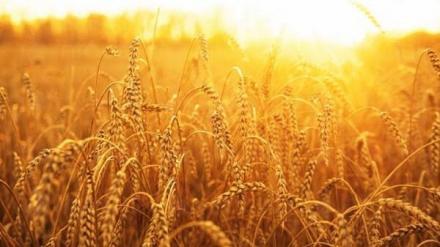 Производство на пшеница в Игнатиево - ЗКПУ ТРАКИЯ 94