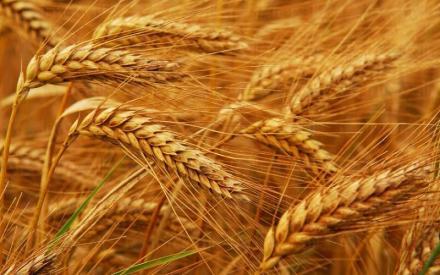 Производство на пшеница в област Разград - ППОК Единство Благоево