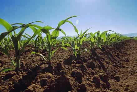 Производство на царевица в област Разград - ППОК Единство Благоево