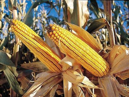 Производство на царевица в село Малина-Генерал Тошево - ПТК Плодородие