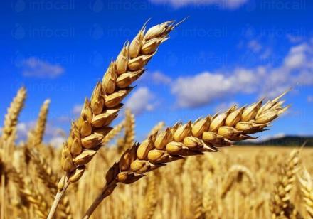 Производство селскостопанска продукция в Гарван-Ситово - ЗК 16 Декември